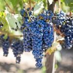 Traubenkernöl – das beliebte Speiseöl ist auch gut für die Schönheit